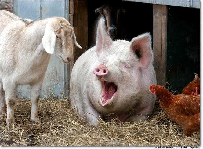 Donald Trump Vent Thread - Page 17 Goat_pig_chicken